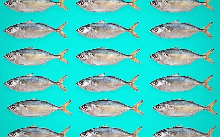 image of mackerels